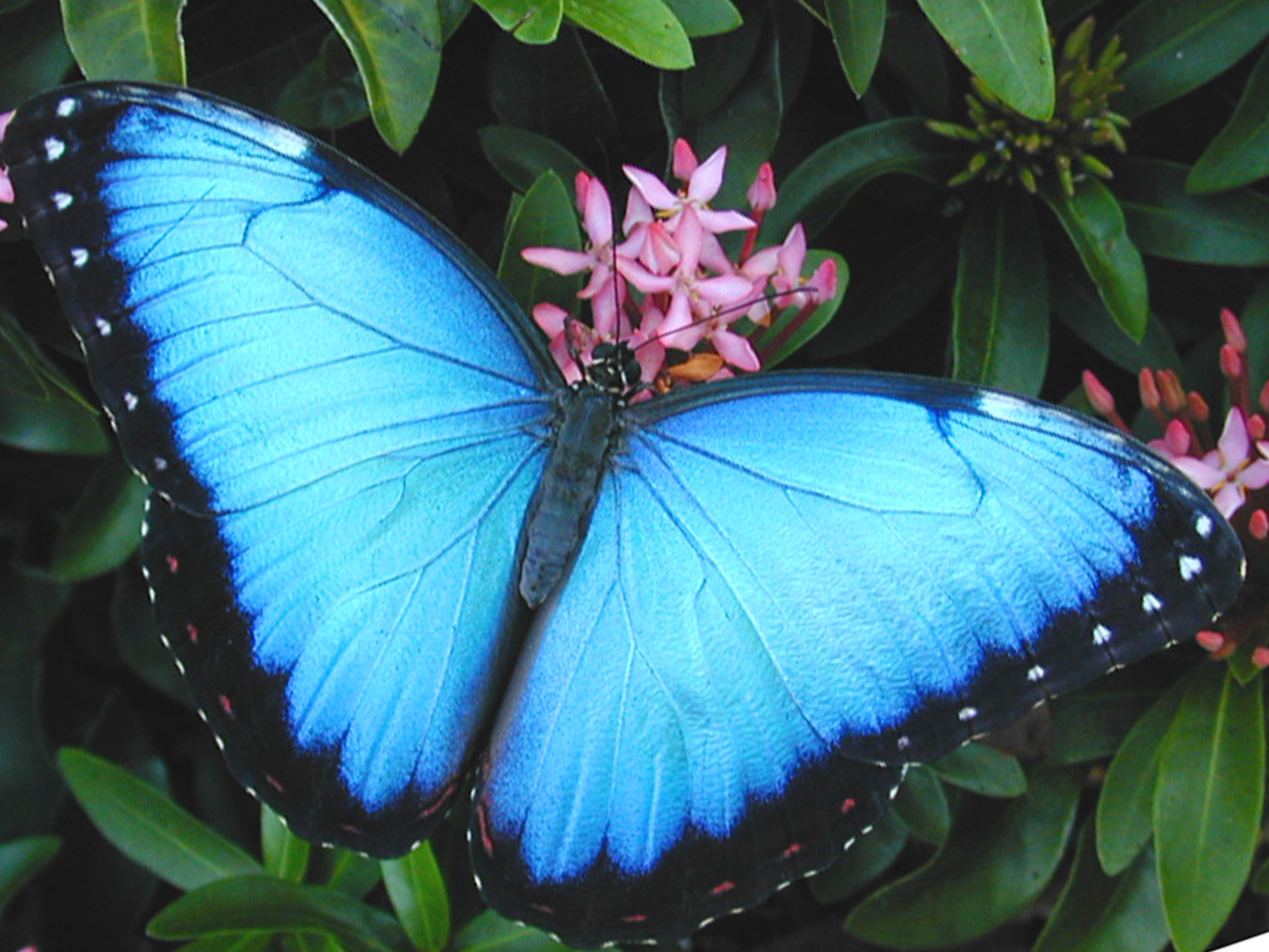 new blue butterfly pictures - photo #4