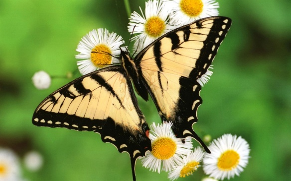 tiger_swallowtail_butterfly-1280x800