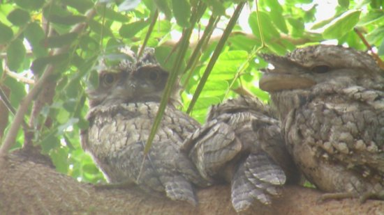 baby-frog-faced-owls