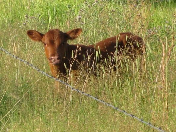 calf new
