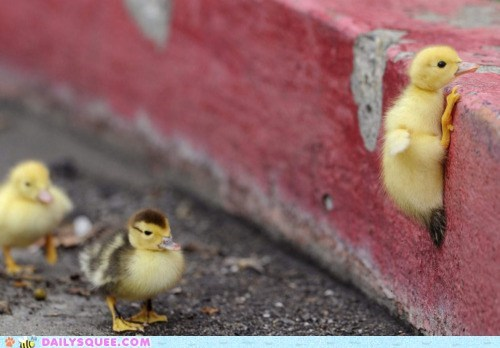 Ducklings - Image from Cheezburger