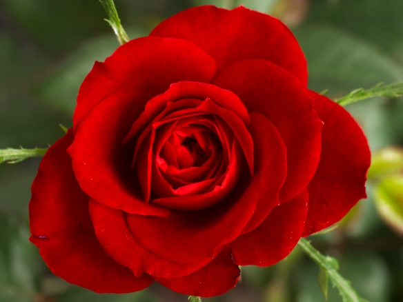 Small Red Rose - Image from Wikipedia Commons
