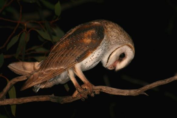 Barn Owl 016b