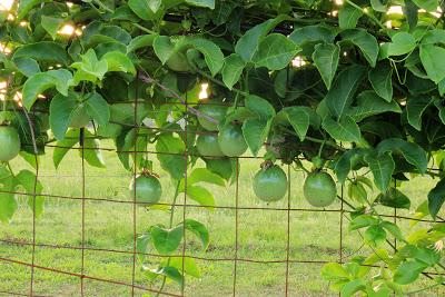 Passionfruit (1)