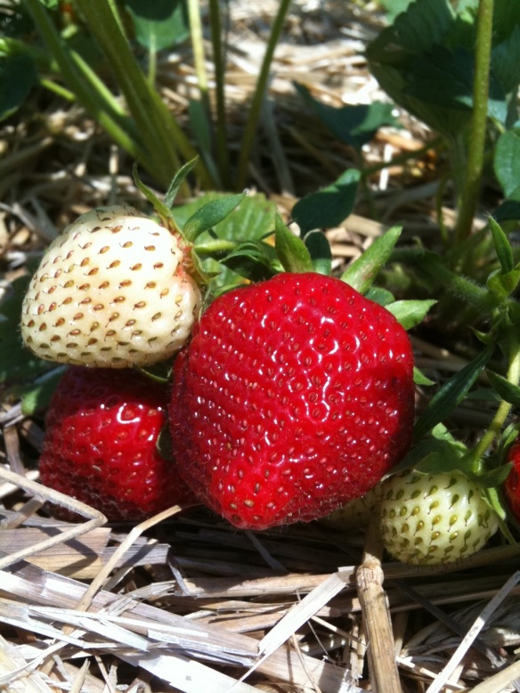 strawberries-ripening