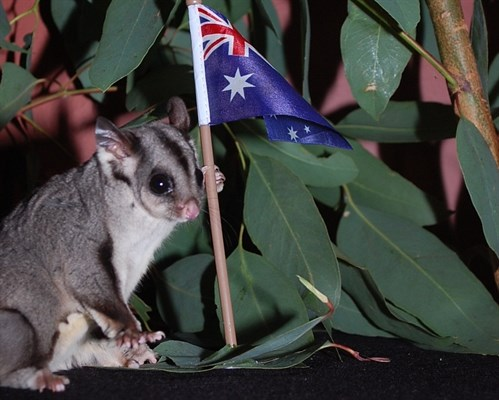 Candy Holding the Australian Flag - image from Sydney Zoo