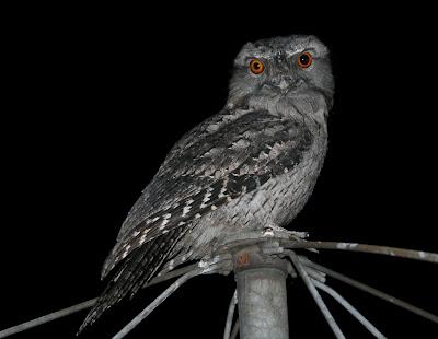 Clothes line owl