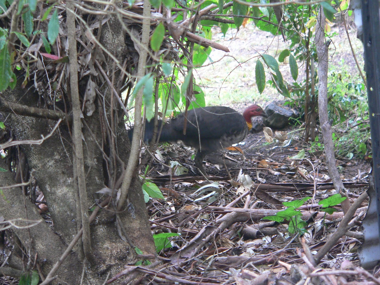 how to catch a brush turkey