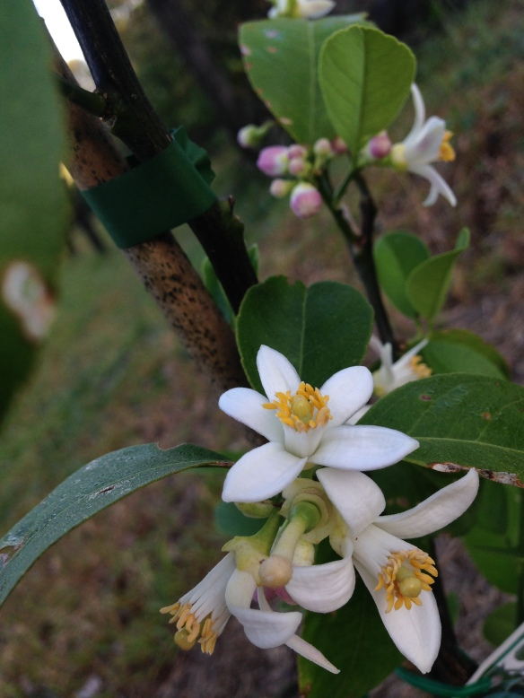 Here's a particularly annoying photo of the blossoms on my lemonade tree. It's shame this isn't a scratch and sniff blog - these blossoms smell so good!  :)