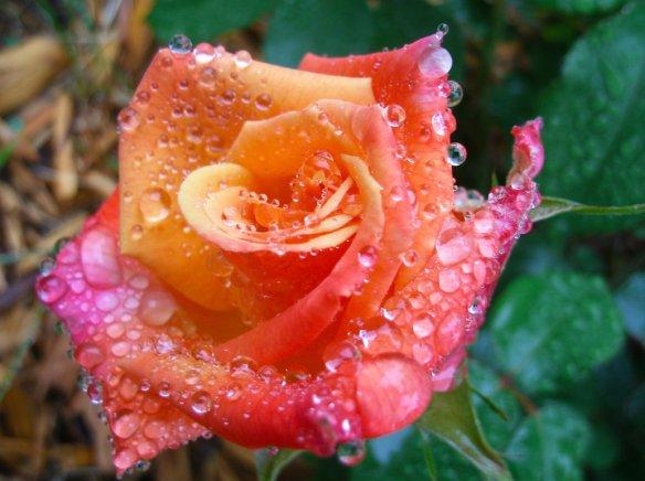 roserain