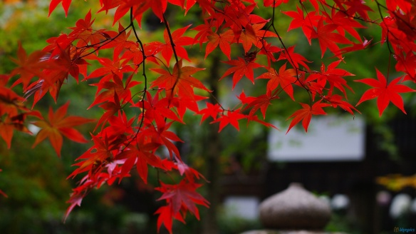 Image credit - Japanese Maples of Summerville