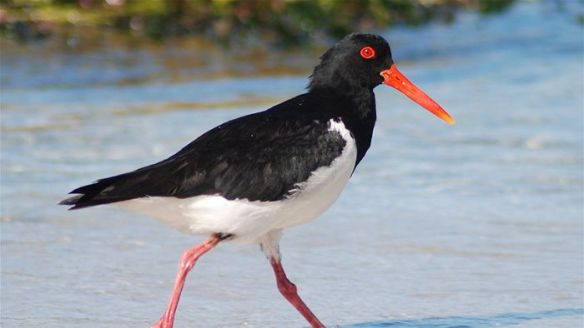 Pied Oyster Catcher - Image by Geoff Taylor for abc.net.au