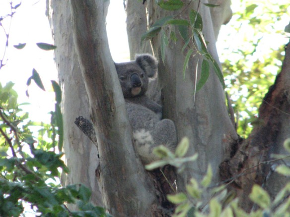 koala2_binna-burra_102011