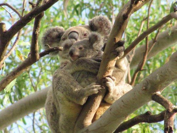 Koalas vege garden