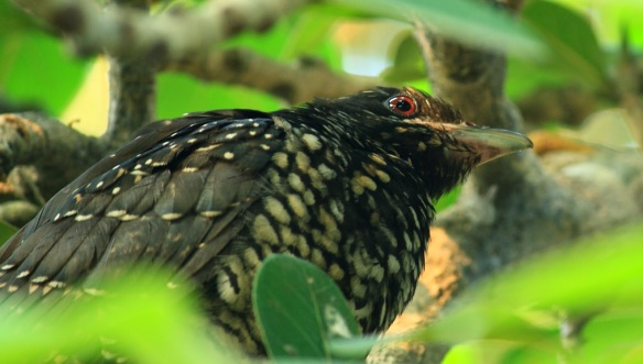 Image of a female Eastern Koel from www.birdingfriends.blogspot.com.au