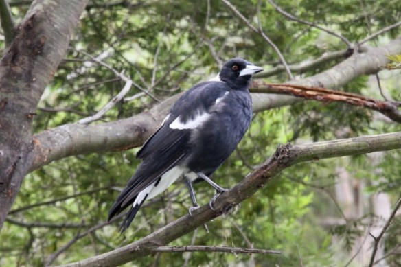 Magpie-in-a-tree-703x469