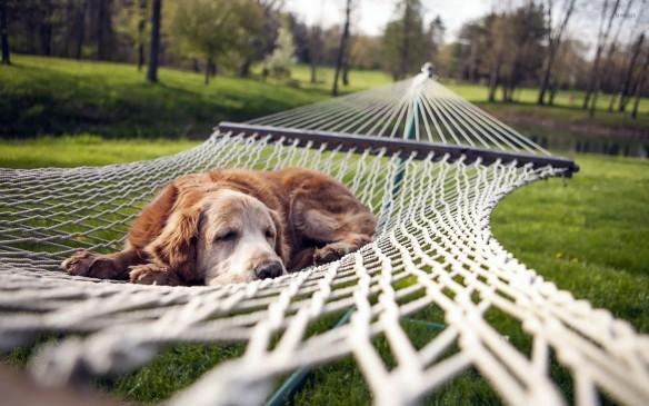 Dog resting in hammock